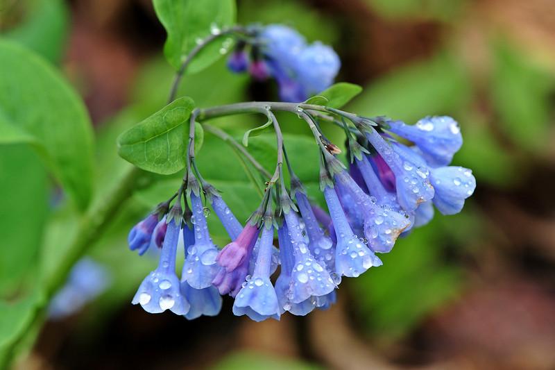 Bluebell woods 5 DSC_0075