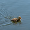 Mini Quack