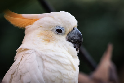 Crested Cockatoo