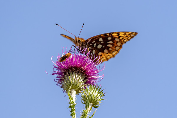 Shared Thistle