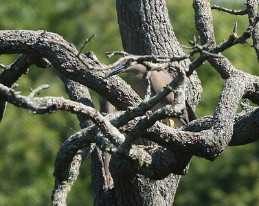 Black crowned night herons perch on a tree in a creek in Eastport, NY.