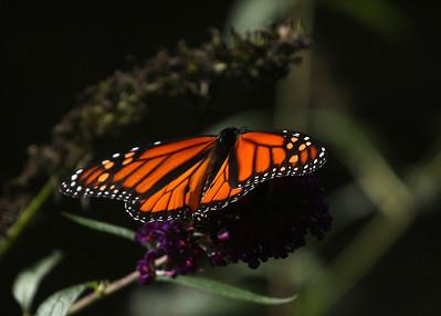 Male monarch Quogue Wildlife Refuge, Quogue, NY.