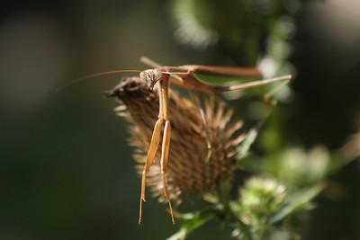 A praying mantis at the Quogue Wildlife Refuge