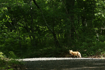A lovely morning at Wertheim National Wildlife Refuge.  A fox appears in the woods.