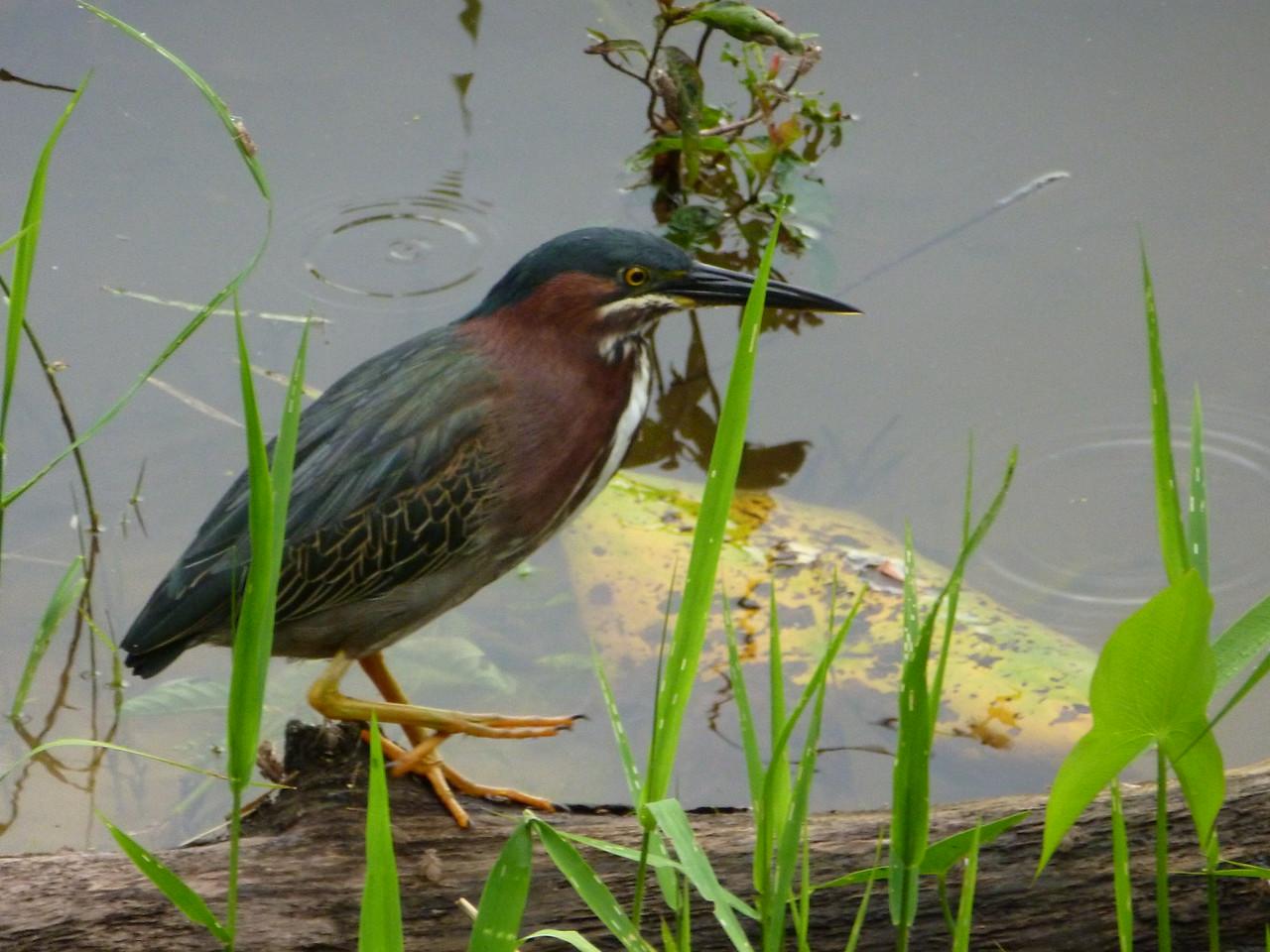 Green heron at East Levee.