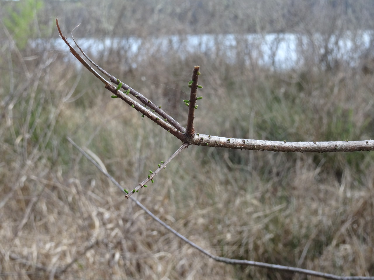 Cypress trees on Bill's Trail connector are leafing out nearly one month earlier than last year.