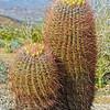 Barrel Cactus Twins