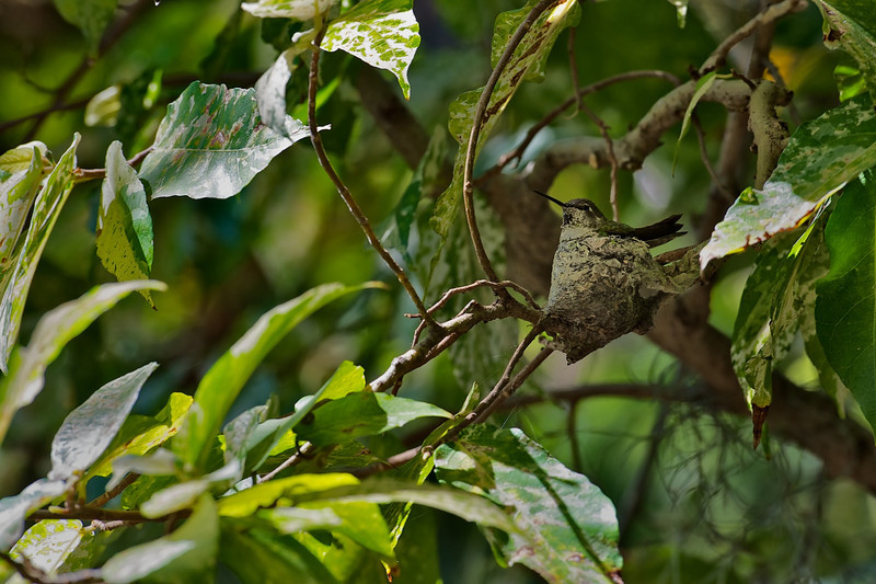Humming Bird Perfcectly Camouflaged in Her Nest