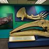 Gray Whale Skull