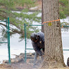 A worker from Stumpy's tree Service, Inc cutts down one of the treees at Barrett Park in Leominster. Construction work started on Tuesday at Barrett Park in Leominster on all of the renovations. They have already taken out the old tennis courts were a new pavilion will be erected and they have also started on cutting down and trimming more then 30 trees. Because of the work they say the park will be closed this week or until the tree trimming is done. It should be open next week. It will closed again when work starts on the trails to make them handicapped accessible. All work should be done some time in June. SENTINEL & ENTERPRISE/JOHN LOVE
