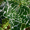Thistle leaves, Bartlett Park, Huntington Beach, CA