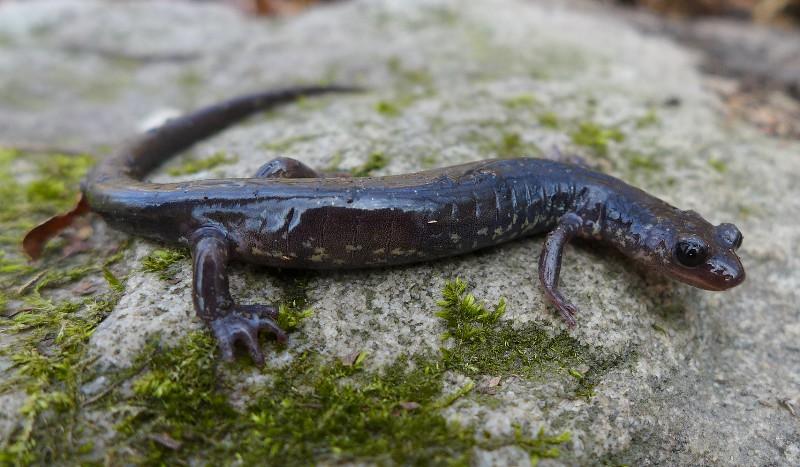 Wehrle's Salamander