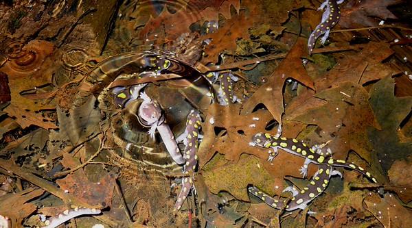Spotted Salamanders