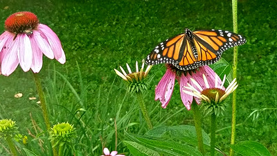 Monarchs in the Garden