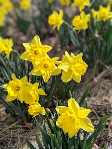 Daffodils Blooming