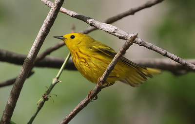 Common Yellow Warbler - Photo by Roger Higbee