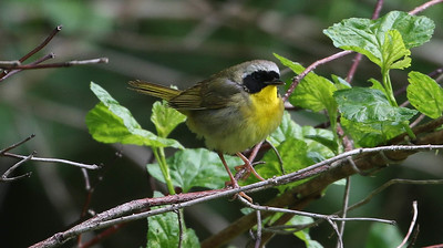 Common Yellowthroat Warbler - photo by Roger Higbee