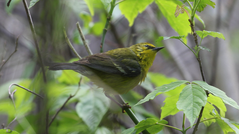 Blue-winged Warbler - photo by Roger Higbee