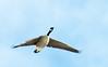 Canadian Goose 03