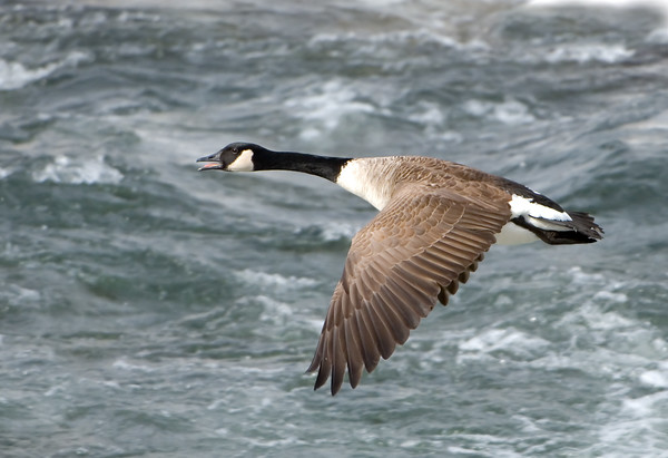 Canadian Geese Glidepath 03