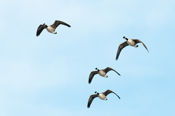 Canadian Geese 08
