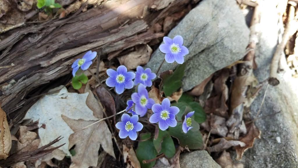 Hepatica in Bloom