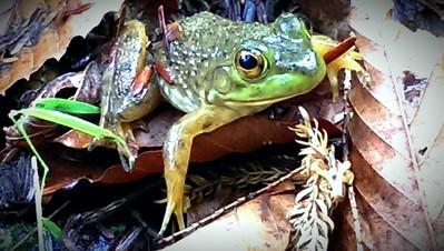 Baby Bull Frog