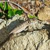 Lizard Lying Quite Still
