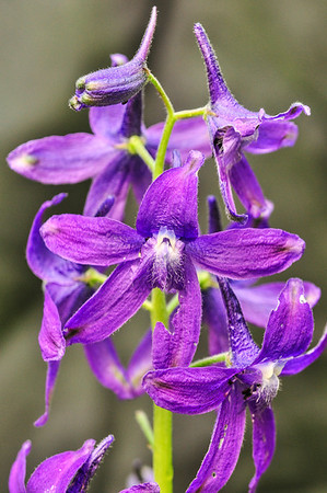Spring Larkspur is very common in the park.