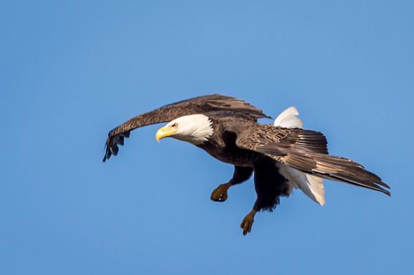 Eagle-2143