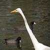 Great Egret...<br /> <br /> Craig Park<br /> Fullerton, CA