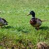 Mallard ducks, Creek Park, La Mirada, CA