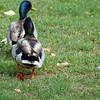 Follow the leader...Mallard ducks, Creek Park, La Mirada, CA