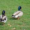 """Where are we going anyway?""  Mallard ducks, Creek Park, La Mirada, CA"