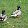 """Where are we going anyway?""  Mallard ducks, Creek Park, La Mirada, CA"