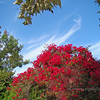"Bougainvillea plant, Creek Park, La Mirada, CA  For some interesting facts about the bougainvillea plant go to <a href=""http://plantanswers.tamu.edu/publications/bougainvillea.html"">http://plantanswers.tamu.edu/publications/bougainvillea.html</a>"