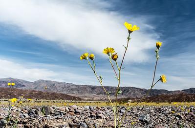Desert Gold Sunflower