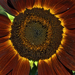 Red Giant Sunflower