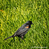 """Red-winged blackbird...<br /> <br /> Not the greatest shot, I know. but this guy just wouldn't stand still!<br /> <br /> Fullerton Arboretum<br /> Fullerton, CA <a href=""""http://fullertonarboretum.org/home.php"""">http://fullertonarboretum.org/home.php</a>"""