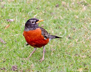Robin at Gerry Park,Roslyn,NY.