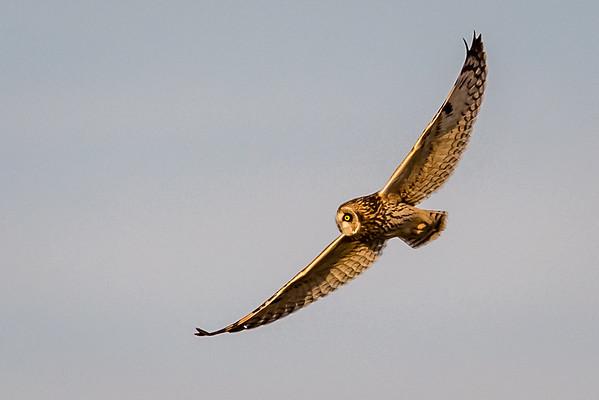 Owls-0560