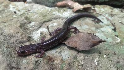 Wehlre's Salamander