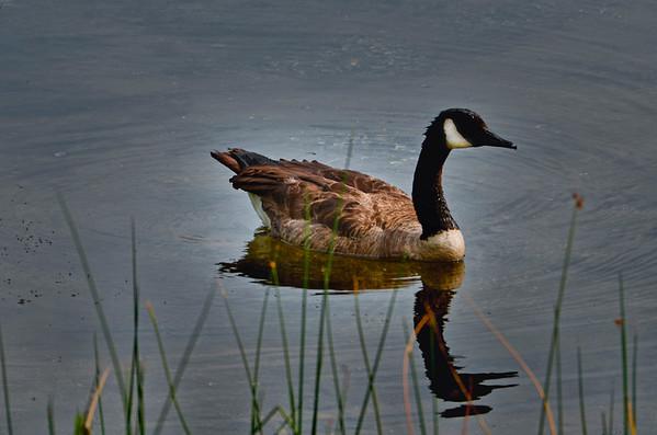 img_5203 duck1