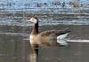 Hybrid Goose (Domestic X Canada or GWF X Canada)