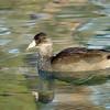 Mallard duck (female)