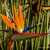 Bird of Paradise ( strelitzia juncea)