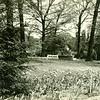 Miller Park Garden Tulips in Bloo  (06636)