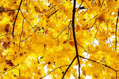 Maple Light