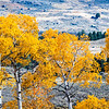 ASPEN - FULL FALL FOLIAGE