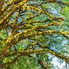 MOSS ON TREE LIMBS